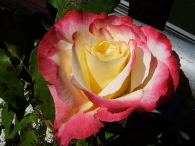 Mum's favorite rose